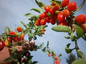 Goji Berries are high in anti-oxidants