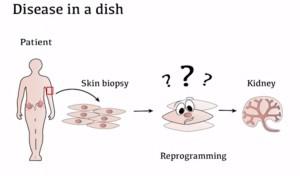 Skin-cells-to-min-kydney-UVQld-Oct-2015.jpg